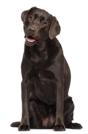 brown labrador: Labrador, 2 years old, sitting in front of white background Stock Photo
