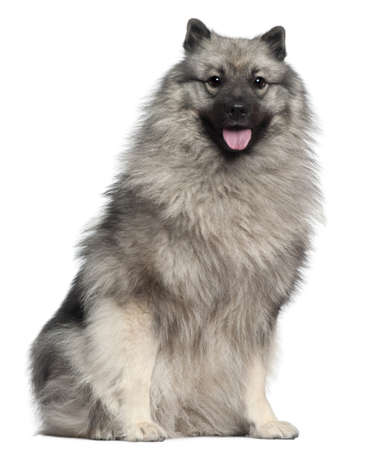 1 year old: Keeshond, 1 year old, sitting in front of white background Stock Photo