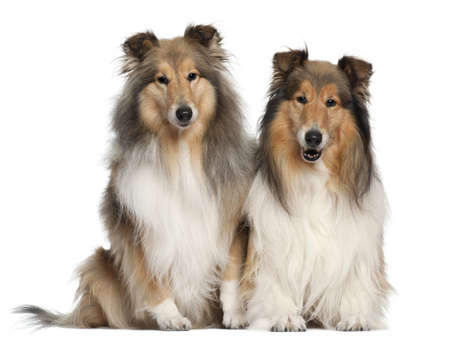 Border Collies, 6 and 7 years old, sitting in front of white background photo