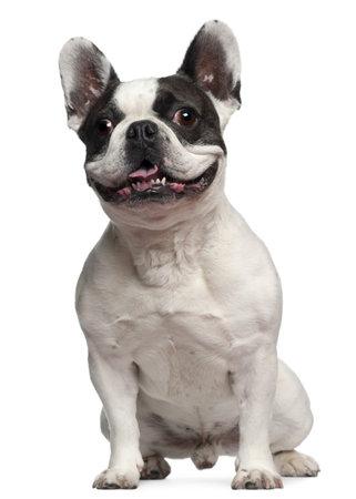animal tongue: Bulldog francese, 5 anni, seduto davanti a sfondo bianco Archivio Fotografico