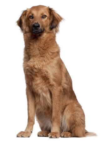herding dog: Herding dog sitting in front of white background