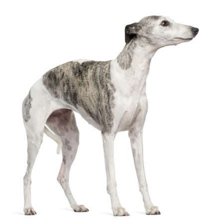 Whippet, 12 months old, standing in front of white background photo