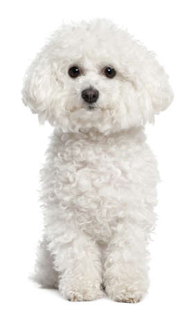 bichon: Bichon frise, 5 years old, sitting in front of white background