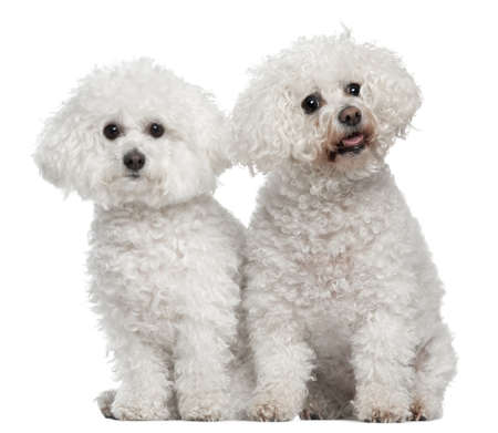 bichon: Bichon frise, 9 and 5 years old, sitting in front of white background