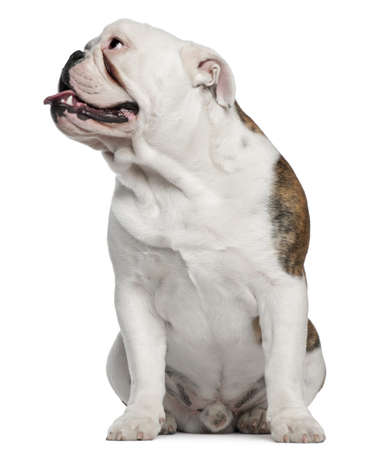 English Bulldog, 8 months old, sitting in front of white background photo