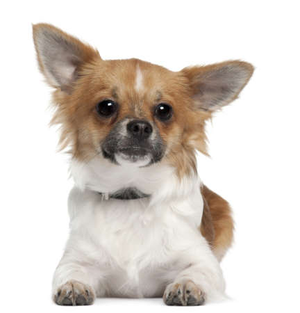 Chihuahua, 7 months old, lying in front of white background Stock Photo - 8210452