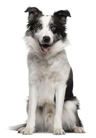 border collie puppy: Border Collie, 10 months old, sitting in front of white background