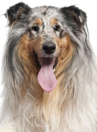 Close-up of Shetland Sheepdog with tongue out, 1 year old, in front of white background photo