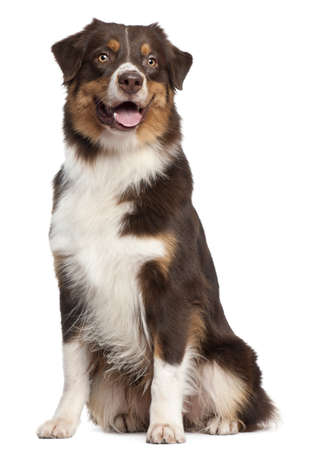 shepherd dog: Australian Shepherd dog, 1 year old, sitting in front of white background