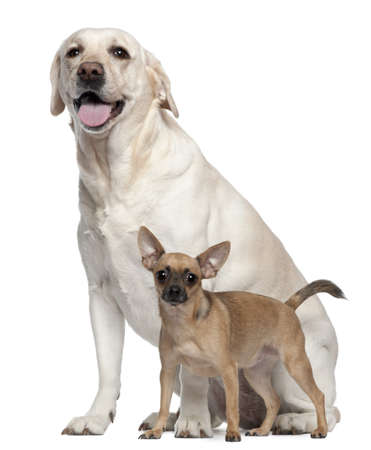 big and small: Pincher, 1 year old, and Labrador, 4 years old, in front of white background