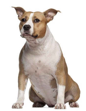 american staffordshire terrier: American Staffordshire Terrier, 3 and a half years old, sitting in front of white background Stock Photo
