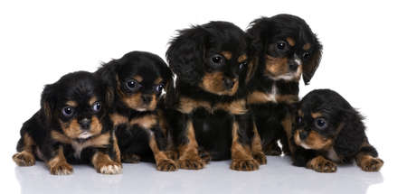 Cavalier King Charles puppies, 7 weeks old, in front of a white background photo