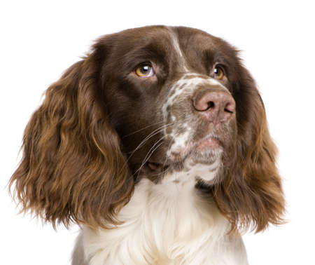 springer: English Springer Spaniel, 10 months old, in front of a white background