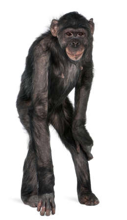 chimpansee: Gemengd-ras aap tussen chimpansees en Bonobo, 8 jaar oud, permanent in de voorkant van de witte achtergrond