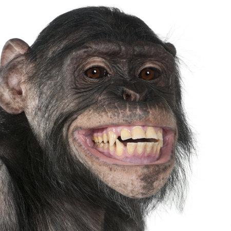 chimpansee: Close-up van gemengde-ras monkey tussen chimpansees en Bonobo glimlachen, 8 jaar oud