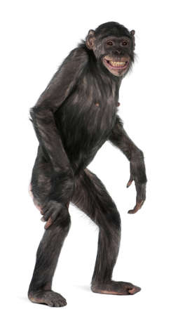 Mixed-Breed monkey between Chimpanzee and Bonobo, 8 years old, standing in front of white background Stock Photo