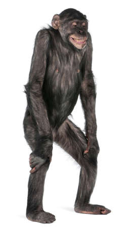 chimp: Mixed-Breed monkey between Chimpanzee and Bonobo, 8 years old, standing in front of white background