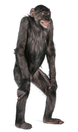 bonobo: Mono de raza mixta entre el chimpanc� y el Bonobo, 8 a�os de edad, de pie frente a fondo blanco