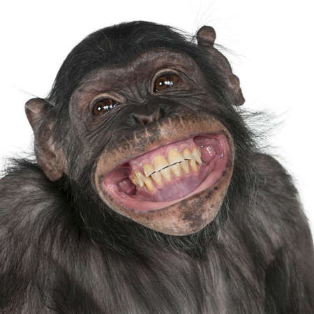 Close-up of Mixed-Breed monkey between Chimpanzee and Bonobo smiling, 8 years old photo