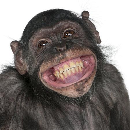 chimpansee: Close-up van gemengd ras monkey tussen de chimpansee en Bonobo glimlachen, 8 jaar oud Stockfoto