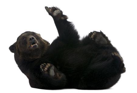 oso negro: Femenina oso siberiano, 12 a�os de edad, situada en frente de fondo blanco Foto de archivo
