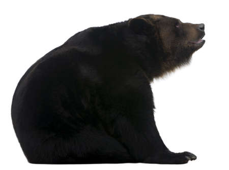 Female Siberian bear, 12 years old, in front of white background photo