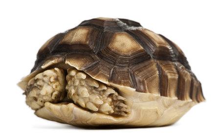 tortuga: Africanos estimulado tortuga, Geochelone sulcata, un a�o de edad, de fondo blanco Foto de archivo