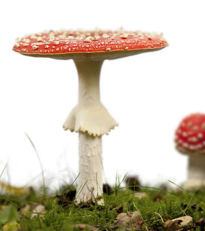 Fly agaric or fly Amanita mushrooms, Amanita muscaria, in front of white background photo