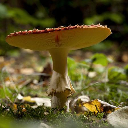 Fly agaric or fly Amanita mushroom, Amanita muscaria photo