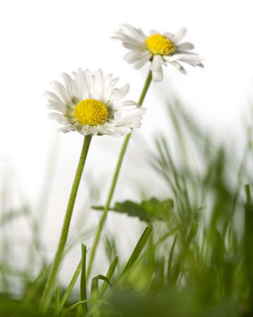 Daisies in grass in front of white background photo
