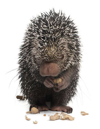 Brazilian Porcupine, Coendou prehensilis, eating peanuts in front of white background Stock Photo - 8651453