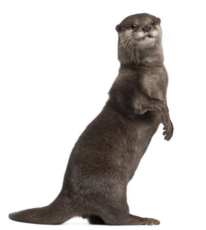 otter: Oriental small-clawed otter, Amblonyx Cinereus, 5 years old, standing in front of white background Stock Photo
