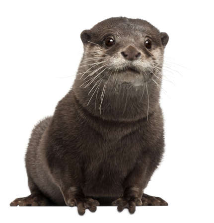 otter: Oriental small-clawed otter, Amblonyx Cinereus, 5 years old, sitting in front of white background Stock Photo