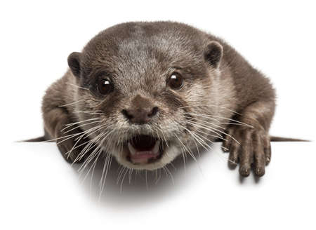 otter: Oriental small-clawed otter, Amblonyx Cinereus, 5 years old, with mouth open in front of white background Stock Photo