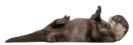 Orientalische Small-krallte Otter, Amblonyx Cinereus, 5 Jahre alt, liegt vor weißem Hintergrund