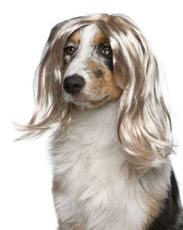 Australian Shepherd puppy wearing a wig, 5 months old, in front of white background photo