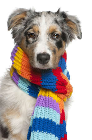 Australian Shepherd puppy wearing a scarf, 5 months old, in front of white background photo