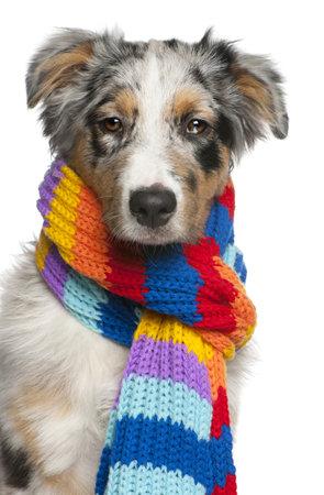 australian shepherd: Australian Shepherd puppy wearing a scarf, 5 months old, in front of white background