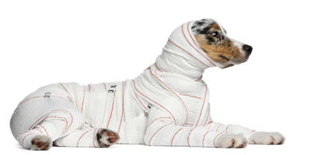 Australian Shepherd puppy in bandages, 5 months old, lying in front of white background photo