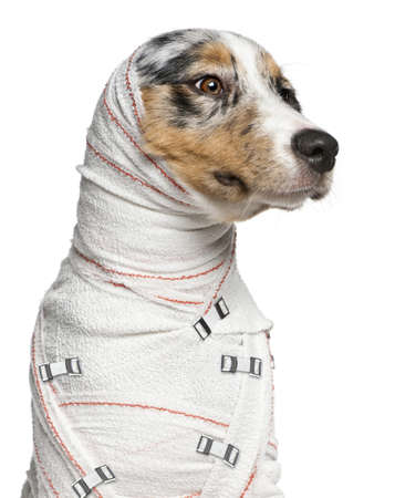 white bandage: Close-up of Australian Shepherd puppy in bandages, 5 months old, in front of white background Stock Photo