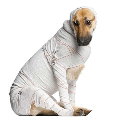 bandaged: German Shepherd puppy in bandages, 4 months old, sitting in front of white background