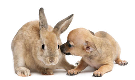 chihuahua pup: Chihuahua puppy playing with rabbit in front of white background Stock Photo