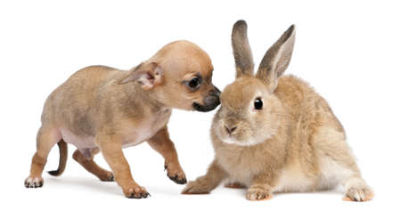 Chihuahua puppy playing with rabbit in front of white background photo