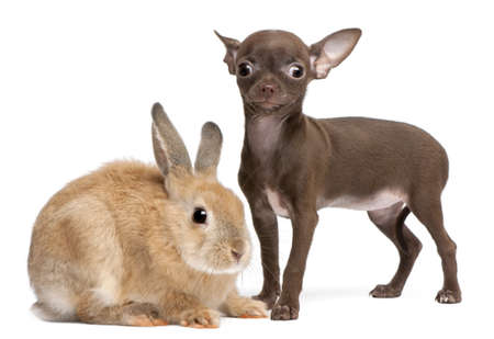 Chihuahua puppy, 10 weeks old, and rabbit in front of white background Stock Photo - 8652160