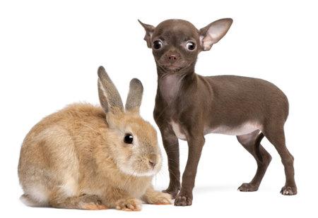 Chihuahua puppy, 10 weken oud, en konijn voor witte achtergrond Stockfoto - 8652160