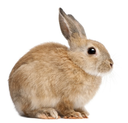Bunny rabbit in front of white background Stock Photo - 8651548