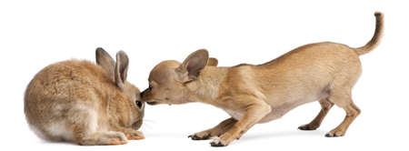 Chihuahua puppy sniffing rabbit in front of white background photo