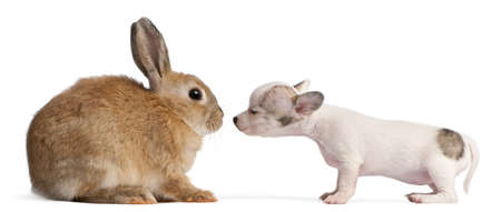 Chihuahua puppy, 10 weeks old, sniffing rabbit in front of white background photo