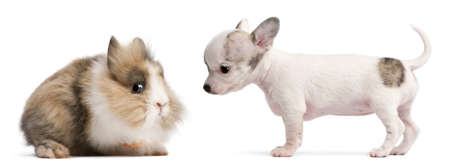 weeks: Chihuahua puppy, 10 weeks old, and rabbit in front of white background