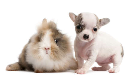 Chihuahua puppy, 10 weeks old, and rabbit in front of white background photo
